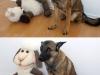 Brillenschaf und der Schäferhund